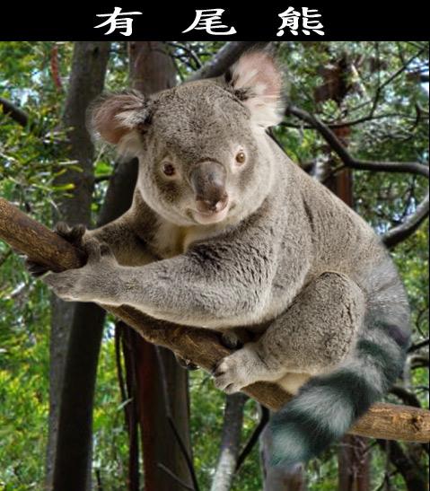 Koala tail - photo#3